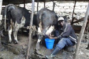 milkingcowkenya